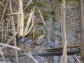 Gody żab moczarowych