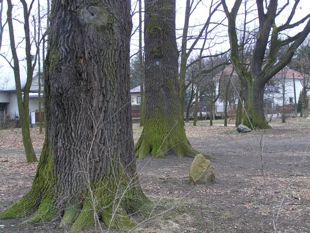 Stare dęby w parku przy ul. Świerkowej