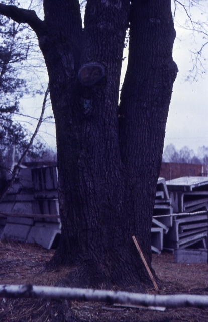 Dąb - pomnik przy oczyszczalni Cyraneczka