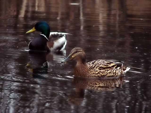 kaczki na bagnach